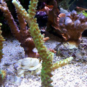 Acropora spp. zielona green