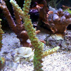 Acropora spp. green