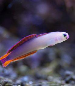 Pięknie ubarwiona Nemateleotris Decora S/M