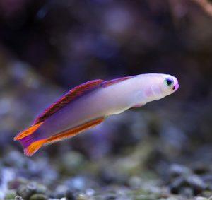 Pięknie ubarwiona Nemateleotris Decora