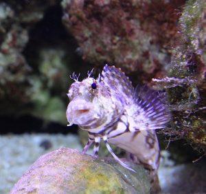 Babka Salarias fasciatus M