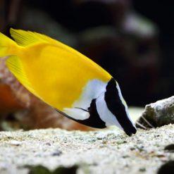 Siganus vulpinus - Borsuk
