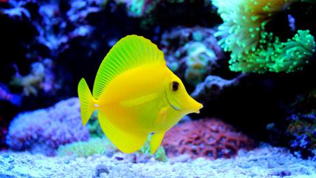 Zebrasoma flavescens - Żółtek rozm. M