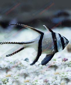 Pterapogon kauderni - Apogon kardynał S/M