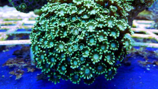 Alveopora sp Green Sunflower W naturze koral ten występuję na Fiji, Wyspach Salomona, Bali, również Australii. Alveopora ukazuje swoje piękno dopiero gdy wszystkie polipy są otwarte.