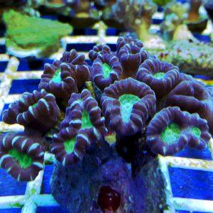 Caulastrea furcata Candy Cane Coral W naturze koral ten występuję w Australii, Filipinach, Indopacyfiku, Pacyfiku Centralnym. Nazwa Caulastrea pochodzi z