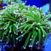 Euphyllia glabrescens Torch Green Polip W naturze występuje w środowiskach rafowych Indo-Pacyfiku, Oceanu Indyjskiego, na rafach wschodniej Afryki w Australii i w Morzu Czerwonym.