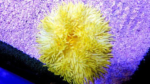 Żółty Ukwiał Heteractis Crispa Yellow