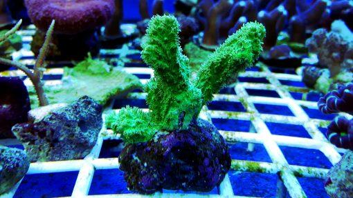 Hydnophora exesa Green Fluo Australia W naturze koral ten występuję w Australi, Morzu Czerwonym, Papui Nowej Gwinei, Samoa, Sulawezi, Wielkiej Rafie Koralowej.