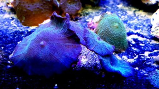 Discosoma sp blue niebieska