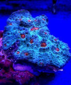 Echinophyllia spp M Red eye dustmoon