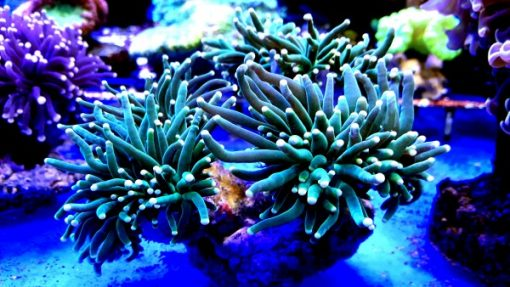 Euphyllia glabrescens Torch crl Green yellow tip