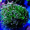 Euphyllia glabrescens Torch super Green white tip