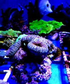 Lobophyllia spp Corymbosa root crl multi color