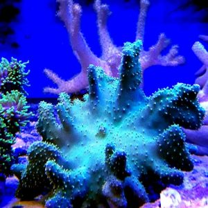 Lobophytum pauciflorum L finger shaped wgreen polyps