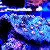 Mycedium elepanthotus M Sleeper crl orange eye