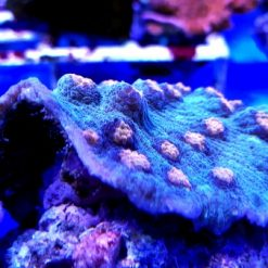 Mycedium elepanthotus M Sleeper crl orange eye