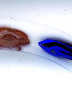 Mini Paracanthurus hepatus Pokolec Królewski XS 1,5-2cm