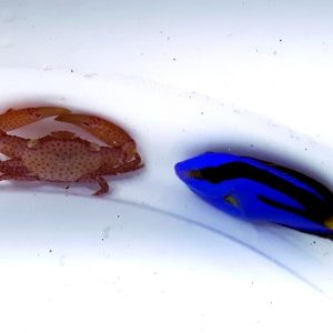 Mini Paracanthurus hepatus Pokolec Królewski XS 2cm