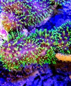 Rhodactis Mushroom L super green