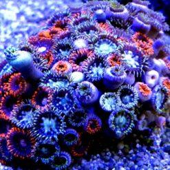 Skałka Zoanthus sp multicolor M