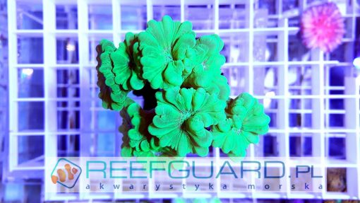 Caulastrea green fluo