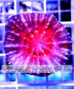 Scolymia australis Pink