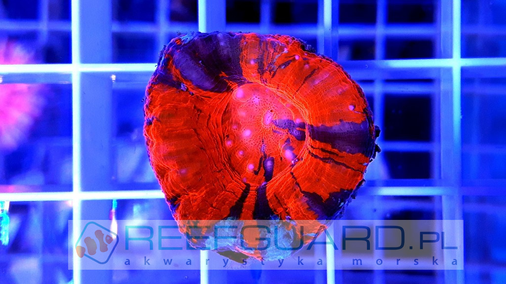 Scolymia Australis Only Red