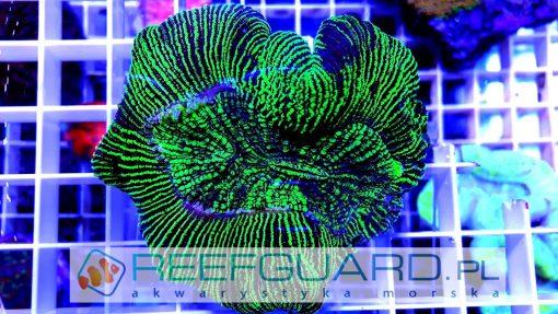 Trachyphyllia Green M