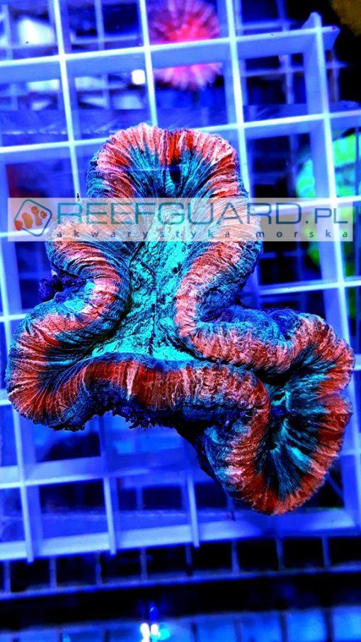 Trachyphyllia spp Red Rim reefguard szczecin