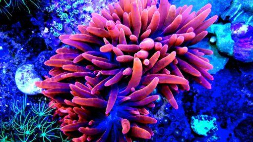 Entacmaea quadricolor red S