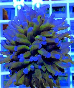 Euphyllia glabrescens orange Australia