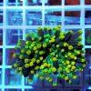 Euphyllia glabrescens yellow green