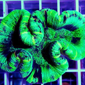 Trachyphyllia green australie