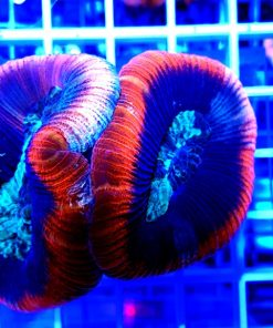 Trachyphyllia ultra red Australie
