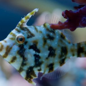 Acreichthys tomentosus Brzydal