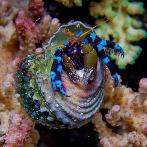 Krab Hermit Crab Electric Blue Leg
