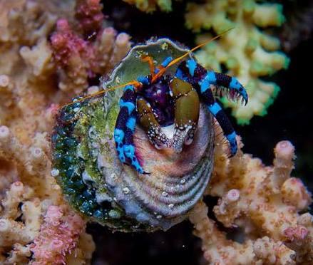 Krab Hermit Crab Electric Blue Leg