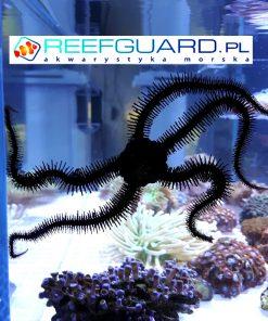 Wężowidło Ophiocomina scolopendrina szczecin reefguard akwarystyka morska
