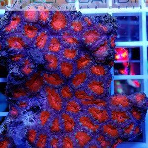 Acanthastrea lordhowensis Red Pink