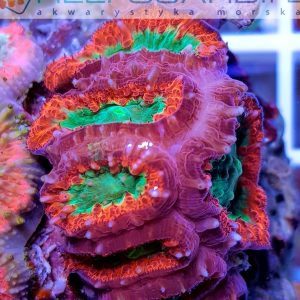 Blastomussa wellsi ultra Red green australia