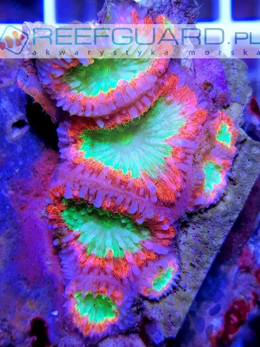 Blastomussa wellsi ultra green pink red australia