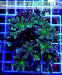 Clavularia green clove polyp