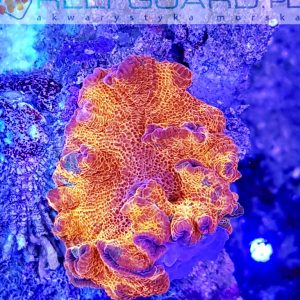 Discosoma ultra Red Australie