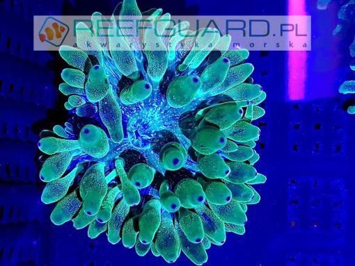 Entacmaea quadricolor Green