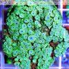 Goniopora ultra green
