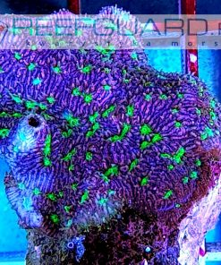 Montipora purple green