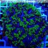 Plerogyra simplex green blue