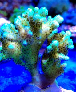 Pocillopora yellow green ultra