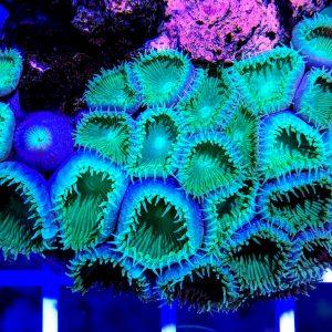 Protopalythoa ultra green